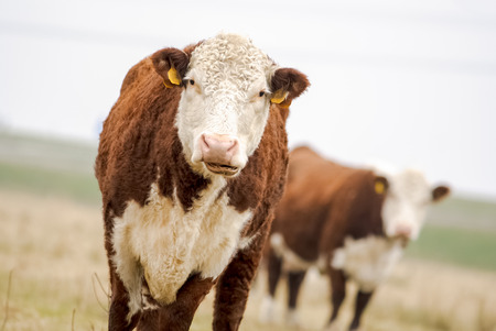 red heifer: A high country Hereford bull looking into the camera