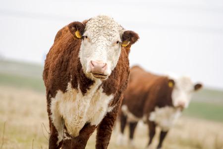 red heifer: Un pa�s de alta toro Hereford mirando a la c�mara Foto de archivo