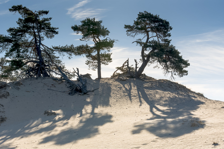 Sand-drift, trees and grass at kootwijkerbroek, netherlands photo