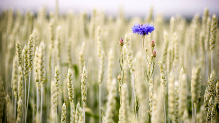 Blue cornflowers growing in a field of ripening rye. May be used as natural background. photo