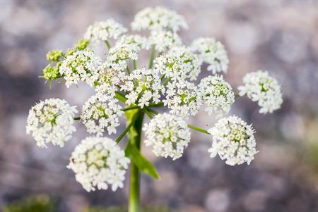Fluitenkruid bloem (Anthriscus sylvestris)