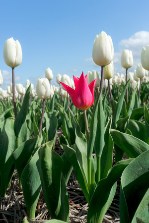 Beautiful bouquet of tulips  colorful tulips  tulips in spring sun  tulip in the field