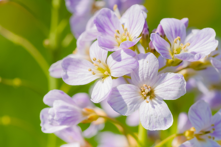 Cuckoo flower (Cardamine pratensis) in a meadow photo