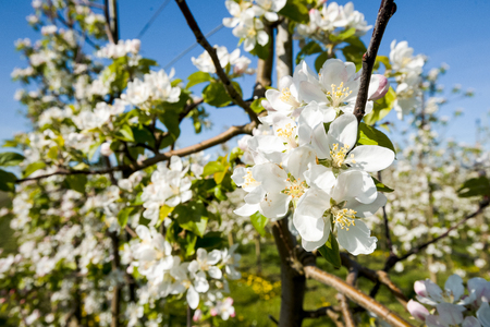 Spring background with beautiful bouquet of white blossoms. photo