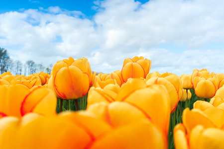 Beautiful bouquet of tulips. colorful tulips. tulips in spring sun. tulip in the field 免版税图像 - 27917646