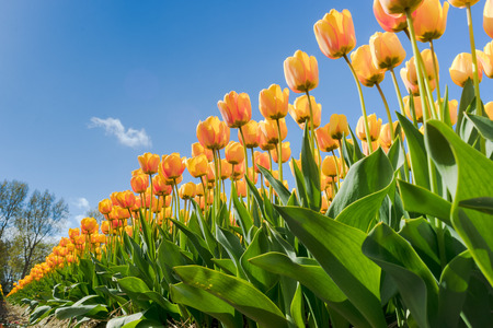 Beautiful bouquet of tulips. colorful tulips. tulips in spring sun. tulip in the field photo