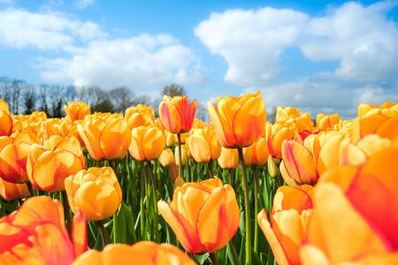 Mooi boeket van tulpen. kleurrijke tulpen. tulpen in de lente zon. tulp in het veld