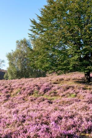heathland: Vintage Flowering heathland