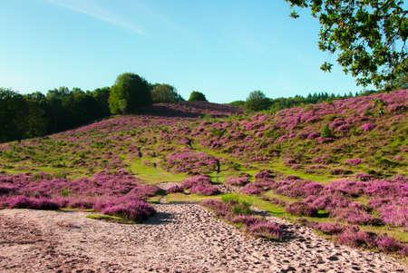 heathland: The Posbank is a particularly heathland in the Netherlands