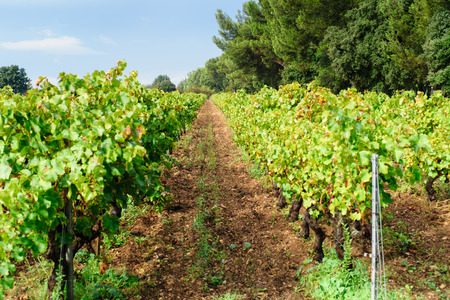 provecale vineyards provence france french wine growing photo