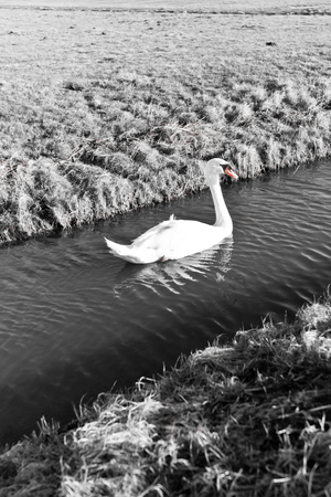 Mute Swan in a cold dutch ditch seem to be able to stand in the cold winter photo