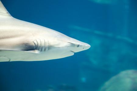 Caribbean Reef Shark and Fish in Deep Blue Sea Water swimming in marine life aquarium photo