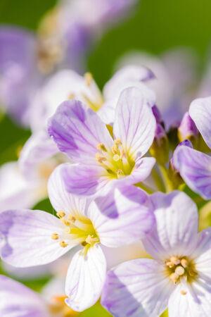 un coucou: Coucou fleurs (Cardamine pratensis) dans une prairie Banque d'images
