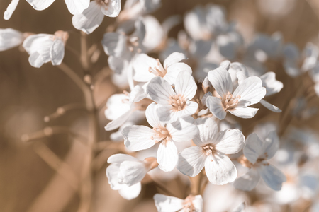 minutiae: Cuckoo flower (Cardamine pratensis) in a meadow