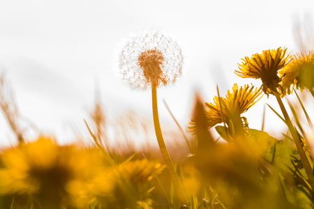 Beautiful white dandelion with seeds on meadow in the sunlight photo