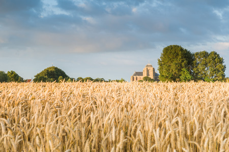 reaping: Reaping white in an agricultural field near the Hostoric Town Veere. With view  on the big Church, zeeland, The Netherlands.