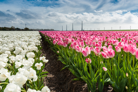 agricultural farm land: Tulips in an agricultural farm land in the Dutch polder. the strong winds of a spring storm doing them all a stir direction. The storm clouds still hang over the landscape while the sun shines through the clouds