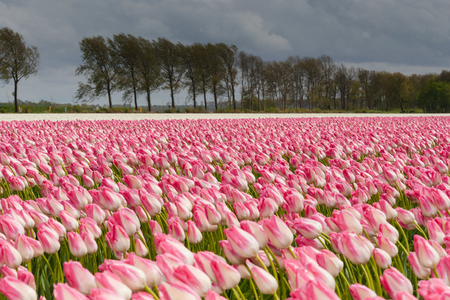 polder: Tulips in an agricultural farm land in the Dutch polder. the strong winds of a spring storm doing them all a stir direction. The storm clouds still hang over the landscape while the sun shines through the clouds