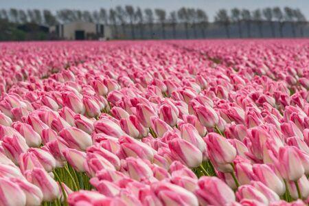 tulip: Tulipany w rolniczej gruntów rolnych w holenderskim polder. silne wiatry wiosennej burzy robi im wszystkim kierunek wymieszać. Burza chmury wciąż wiszą nad krajobrazem, gdy słońce świeci przez chmury Zdjęcie Seryjne