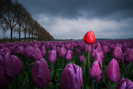 Passed out: Dark clouds are gathering over a field with Netherland tulips. Spring has its swings in the weather. A rainstorm has just passed over and the drops still hang from the flowers. A single tulip stands out as an outsider above ground level and stands tall as Stock Photo