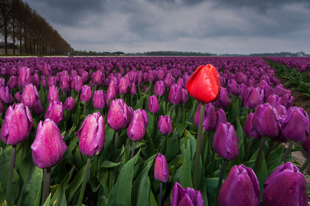 outsider: Dark clouds are gathering over a field with Netherland tulips. Spring has its swings in the weather. A rainstorm has just passed over and the drops still hang from the flowers. A single tulip stands out as an outsider above ground level and stands tall as Stock Photo