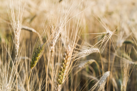 gramineous: Ripe fields of wheat at the end of summer at Sundawn. Stock Photo