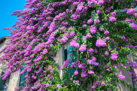 sirmione: Sirmione, house in the old part of town with bougainvillea glabra, paper flower, also known as lesser bougainvillea, Lake Garda, Lombardy, Italy, Europe