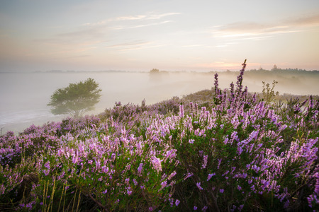 Romantic sunrise in a Dutch nature area with vibrant purple heather