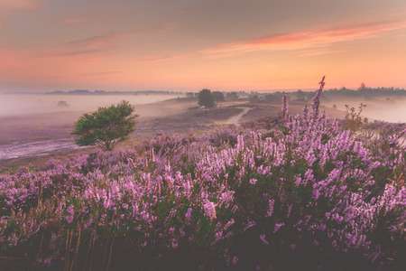 holland: Sunrise over Dutch heath landscape with flowering heather, Netherlands