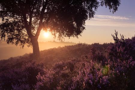 Romantic sunrise in a Dutch nature area with vibrant purple heather