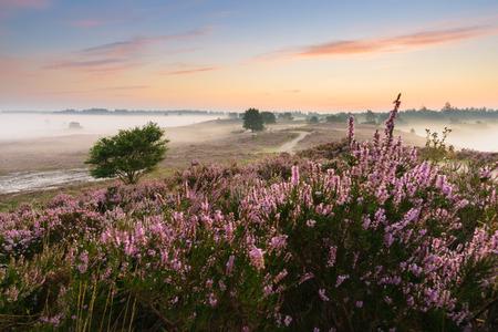 veluwe: Romantic sunrise in a Dutch nature area with vibrant purple heather