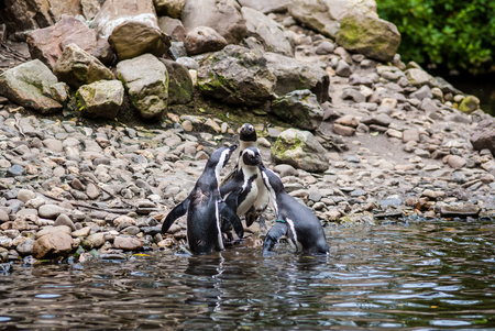 profesional: Several Magellanic Penguin Spheniscus Magellanicus at the beach. waiting for a penguin that comes out of the water with fish Stock Photo