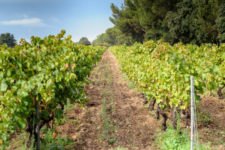 wine growing: Provecale vineyards provence france french wine growing