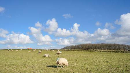 holland landscape: Wide view Dutch landscape with sheep, meadow and cloudy skies on the island Texel. Holland Stock Photo