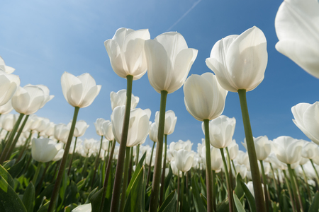 flair: White tulips flowers growing over blue sky background. Wide angle view with sunny flair, photographed from below. Stock Photo