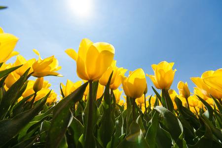 Veld met speciale gele tulpen tegen blauwe hemel en heldere backlight. Van onderen gefotografeerd als kikker perspectief.