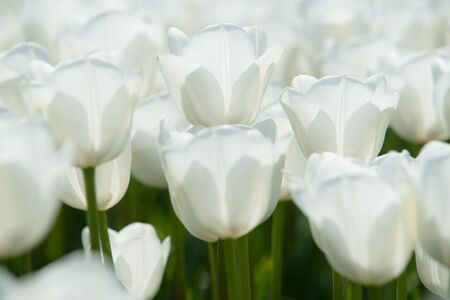exceptionally: Exceptionally beautiful white tulips in a Dutch landscape. Photographed from different positions  and centered with a flower