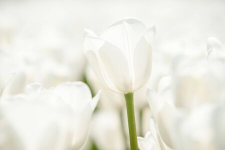 centered: Exceptionally beautiful white tulips in a Dutch landscape. Photographed from different positions  and centered with a flower