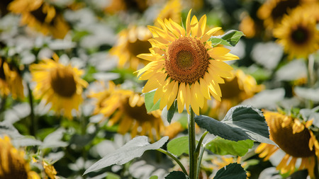 the loire: Field of blooming sunflowers in Loire Valley, France, Europe Stock Photo
