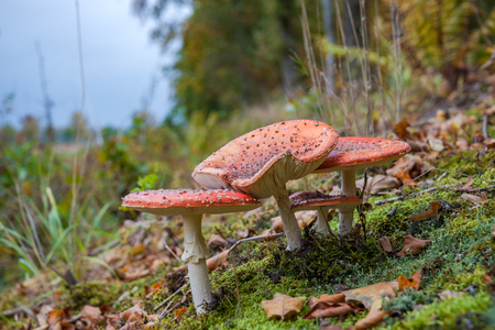 fungi: Amanita muscaria (fly agaric, fly amanita, toadstool) in autumn forest Stock Photo