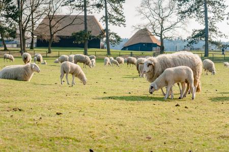 Jonge lammeren en schapen liggen en grazen in een weiland op de grootse Nederlandse natuurgebied: de Veluwe. De kudde wordt gebruikt voor de natuur onderhoud. Foto genomen in de lente Stockfoto