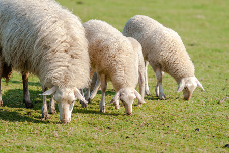 Young lambs and sheep lying and grazing in a pasture on the grand Dutch nature reserve: the Veluwe. The herd is used for Nature maintenance . Picture taken at spring