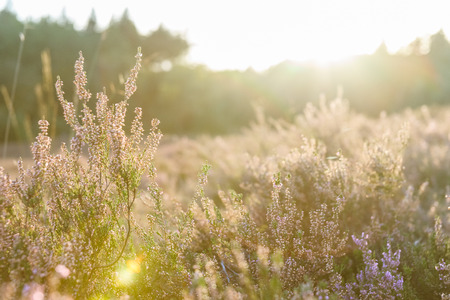 Moorland in a Dutch National Park in low sunlight at the end of the summer season. Stock Photo