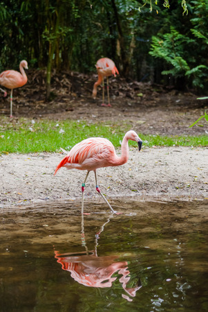 daddy long legs: Group of flamingos in the zoo