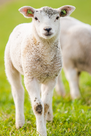 young lambs in a Dutch green meadow in spring Stock Photo