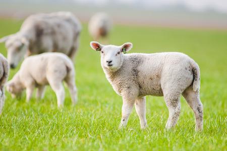 ovejitas: corderos jóvenes en un prado verde en primavera holandesa