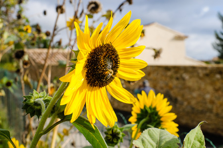 helianthus: Gorgeous beautiful shining sunflower in a  French garden at the Provence Stock Photo