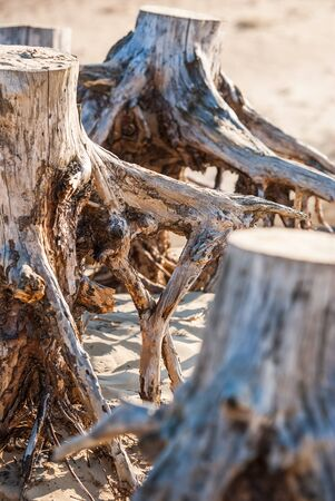 Parched and weathered tree stumps in the sand dunes of a national park with the largest sand drifts of Europe