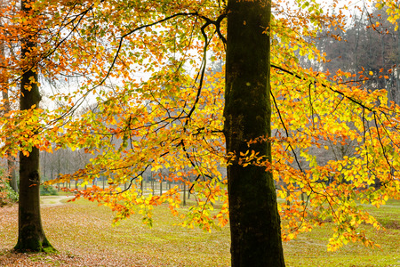 fall trees: Orange leaves over branches in autumn forest. Background with autumn leaves, natural texture orange autumnal foliage border, trees in the fall. Stock Photo