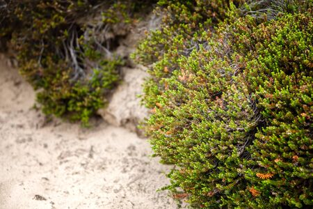 erica: Green heather on a sandy surface in a Dutch nature reserve